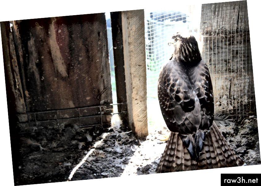 Sokol se dostal do naší kuřecí bedny a pokusil se zaútočit na naše kuřata. Moje máma pořídila tuto fotografii… bylo to děsivé a zároveň úžasné.