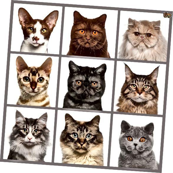El Brady Bunch, versió per a gats