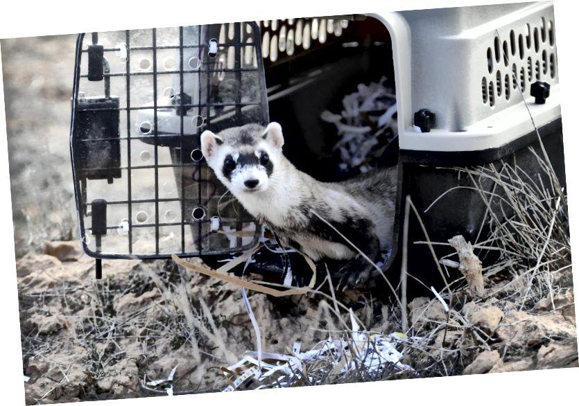 Jedním ze způsobů, jak etické zoo pomáhají chránit zvířata ve volné přírodě, je program druhového zavádění. Zvířata chovaná v zoo v zajetí, jako je tato černonohá fretka, aby se zajistilo, že druh nezanikne. Fotografie z Utah Public Radio.