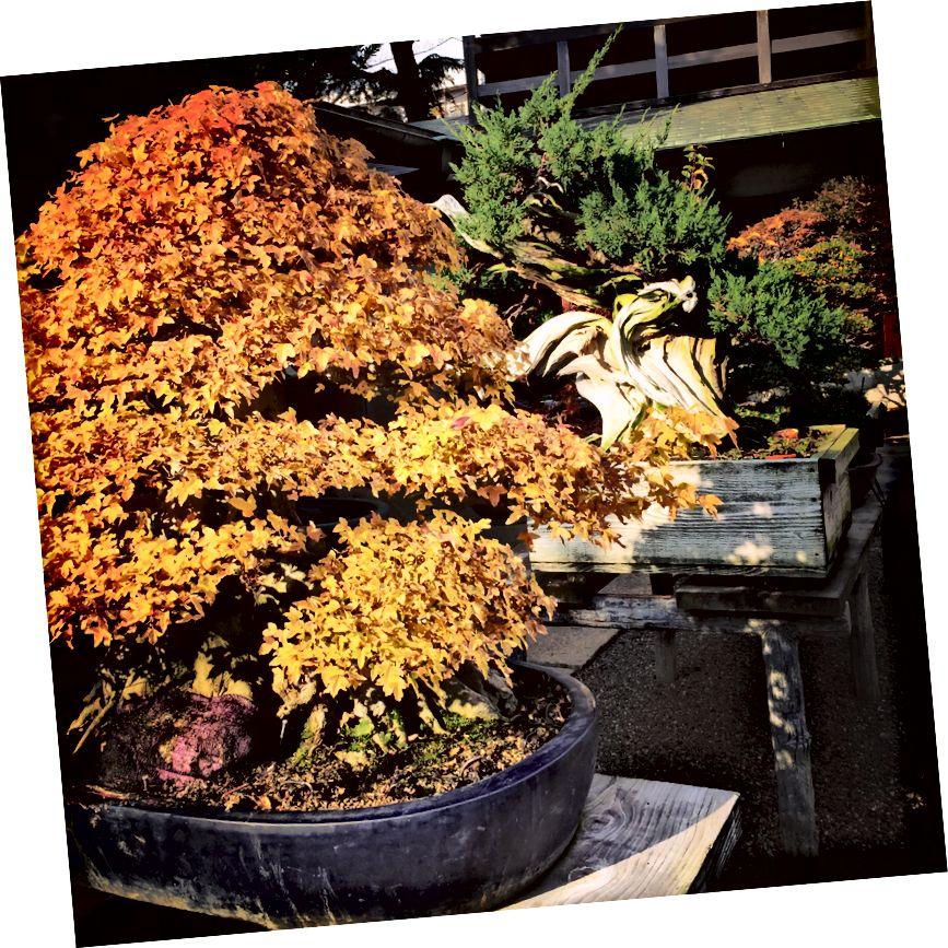 Bonsai Muzeyi, Tokio. Yaponiyadakı Bonsai ağacları 600 ildən çox yaşaya bilər.