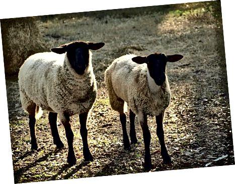 Clonage de moutons