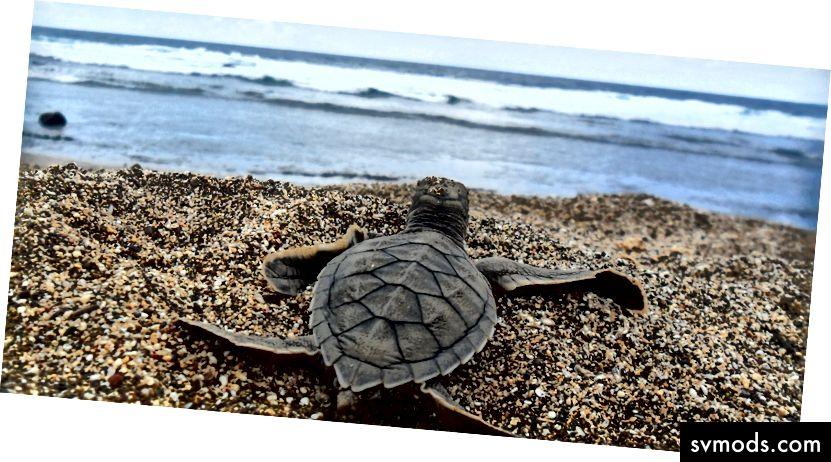 Eine Meeresschildkröte, die sich auf den Weg ins Meer macht. Bilddatenbank / Flickr (CC BY-SA 2.0)