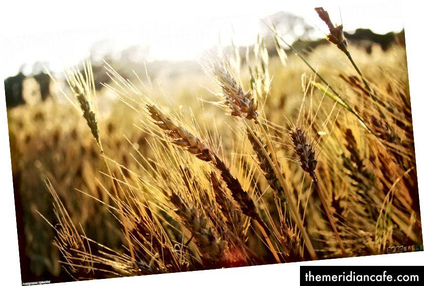 Nema gensko proizvedene pšenice, ali vaš kruh vjerojatno ima kukuruzni sirup ... tako da jedete slatki Frankenbread. I iskreno, to stvarno nije važno. Fotografija putem OpenWall-a.
