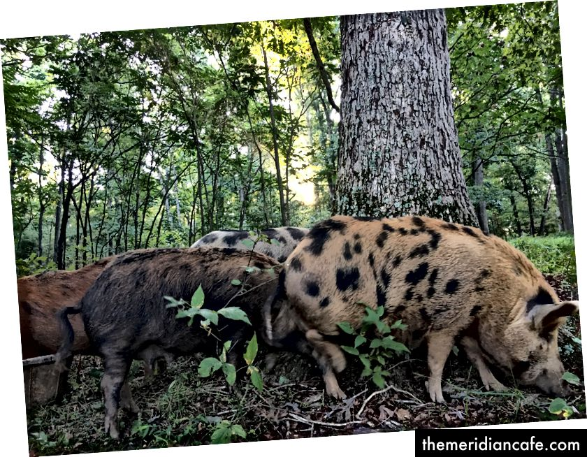الخنازير في مزارع سيلفانوكا هي خنازير حيث يريدون أن يكونوا خنازير.