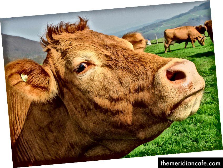 Wołowina karmiona trawą to rosnący trend, ale nie jest zrównoważonym rozwiązaniem zmian klimatu.