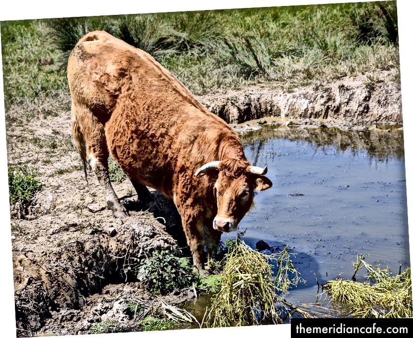 Weidende Rinder zerstören natürliche Uferlebensräume und Feuchtgebiete, die einheimische Wildtiere zum Überleben benötigen.