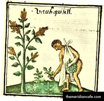 Präkolumbianischer Anbau von Huatli (Amaranth)