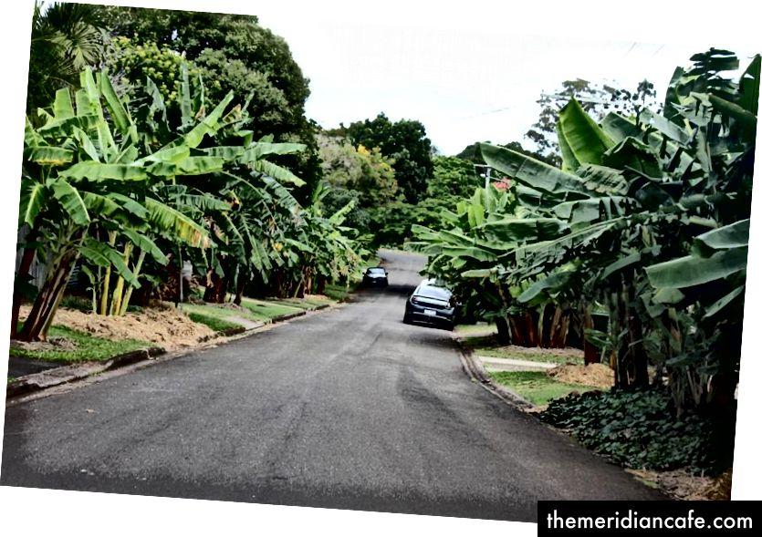 """Em 2015, o """"Banana Boulevard"""" produziu 900 kg de frutas para os moradores locais. Foto: Harriet Tatham"""