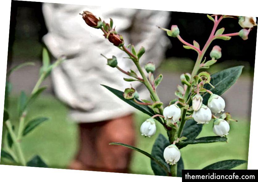 Uma das culturas cultivadas pela Urban Food Street é o mirtilo. Foto: Harriet Tatham