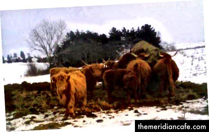 Druge prijatelje su planinske krave i telad