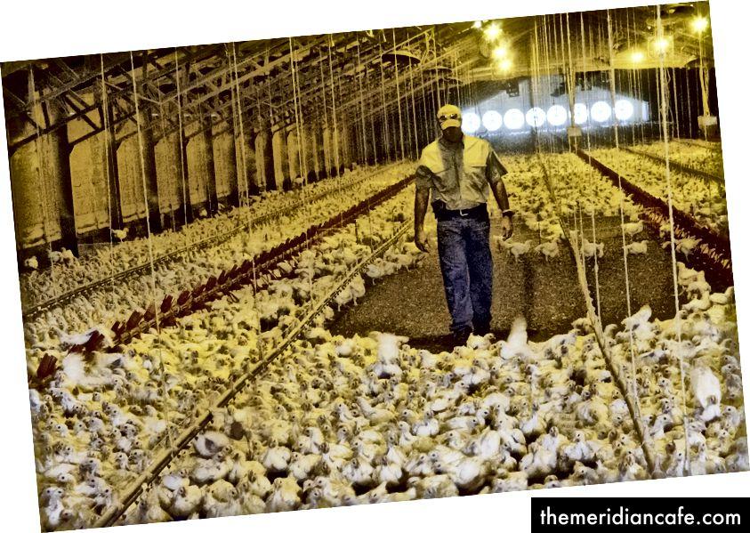 """Слика: Америчко министарство пољопривреде """"Бобби Морган проверава кокоши бројлера у једној од својих пилећих кућа у Лулингу, ТКС, 23. августа 2013"""""""