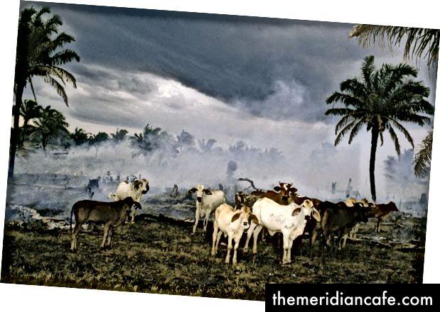 Floresta Amazônica sendo desmatada para criação de gado.
