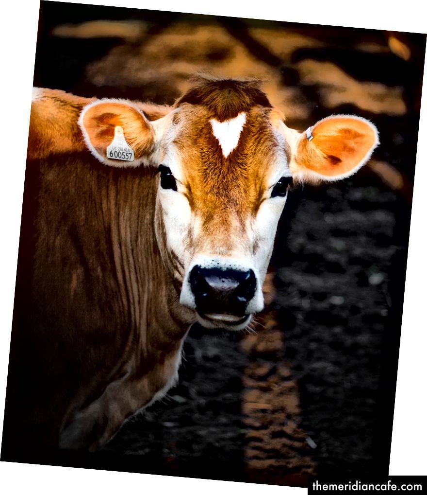 """Fotografia de foco seletivo de vaca marrom"" por Luke Stackpoole em Unsplash"