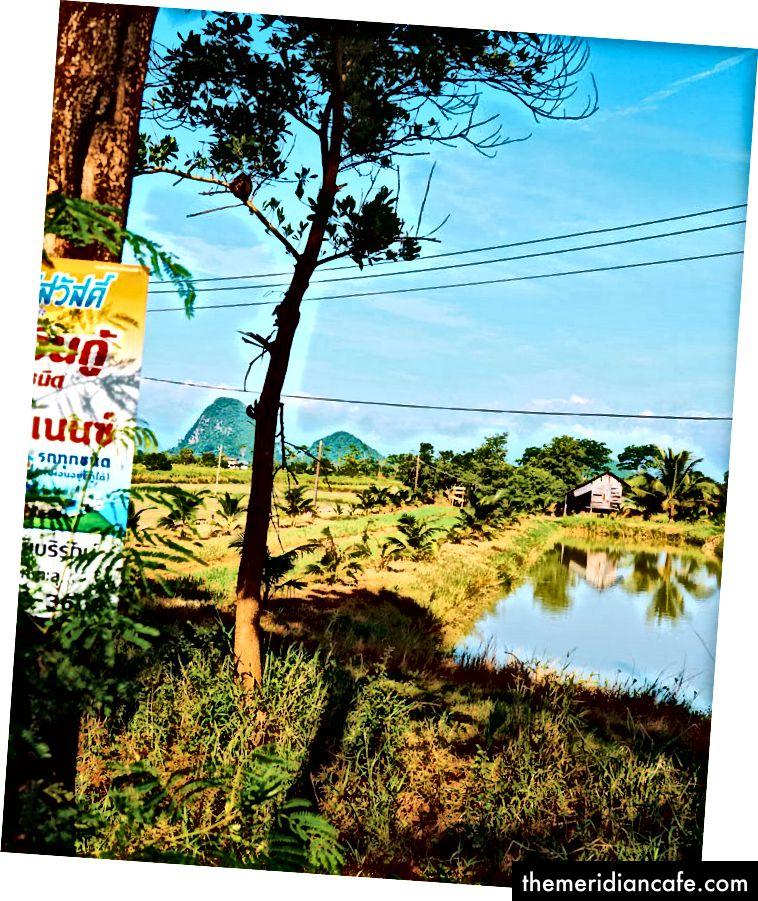 Campos do prik khao chi em Phatthalung.