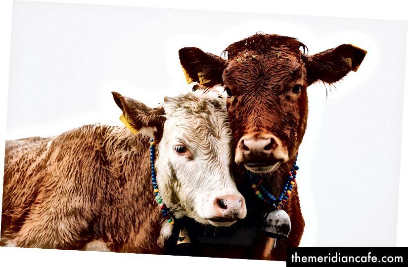 Przytulające się krowy noszące piękne naszyjniki dzwonkowe Zdjęcie Doruk Yemenici na Unsplash