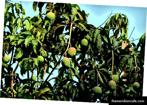 Mango Tree Mango od Pixabay
