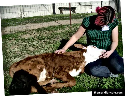 Whitaker, um bezerro resgatado de cinco semanas de idade, lambe minha mão, como um cachorro, no Farm Sanctuary, na Califórnia. (Foto do autor.)