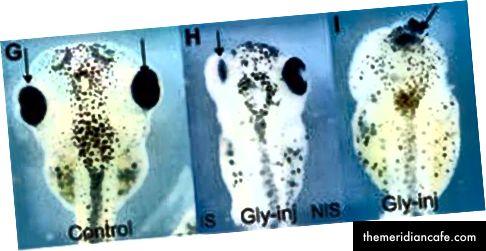 Wpływ wstrzyknięcia glifosatu; od lewej do prawej: zarodek kontrolny, któremu nie wstrzyknięto glifosatu; zarodek wstrzyknięty tylko w jedną komórkę; i zarodek wstrzyknięty do obu komórek. Zwróć uwagę na zmniejszenie oka. Z Archiwum Science in Society.