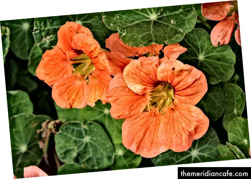 Kwiaty nasturcji. Liście też są jadalne! © nan fischer