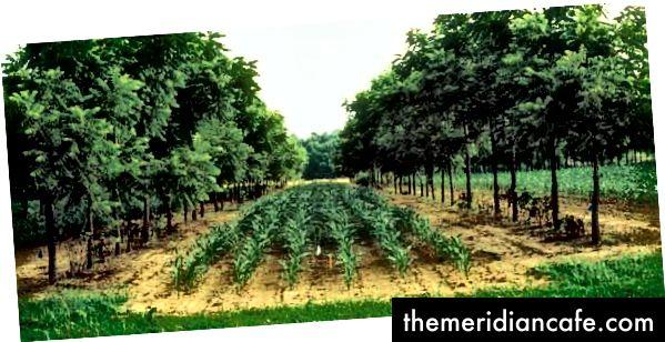 Sistema de cultivo em beco: milho com nozes © Wikimedia