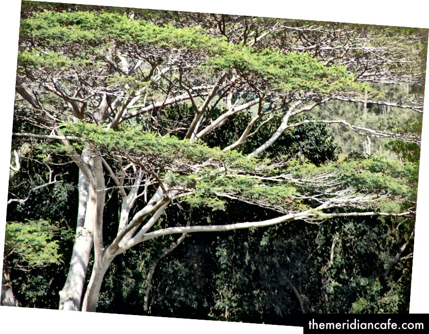 Falcataria moluccana, uma árvore de rápido crescimento usada na agrossilvicultura © Wikimedia