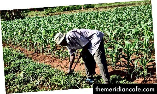 Τα χόρτα Brachiaria και άλλες ζωοτροφές χρησιμοποιούνται στη δυτική Κένυα ως μέρος μιας προσέγγισης