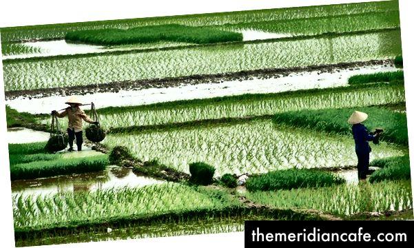 Η εντατική καλλιέργεια αυξάνει τις αποδόσεις από ορυζώνες στο Hai Duong του Βιετνάμ. Φωτογραφία ευγενική προσφορά του Eric Baker, από το Flickr, με άδεια CC BY-NC-SA 2.0