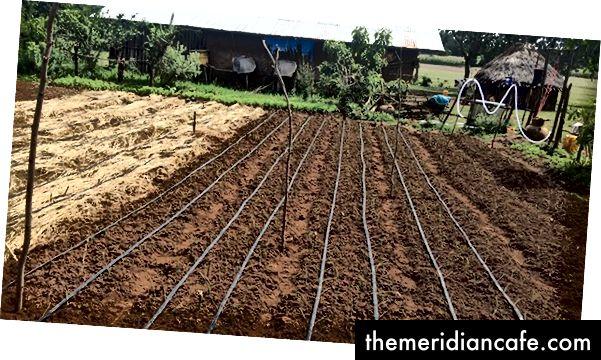 Οι αγρότες στην Αιθιοπία χρησιμοποιούν τοπικό αχυρόστρωμνο και στάγδην άρδευση για να εντείνουν τις αποδόσεις τους με βιώσιμο τρόπο. Φωτογραφία ευγενική προσφορά του Εργαστηρίου Καινοτομίας Βιώσιμης Εντατικοποίησης