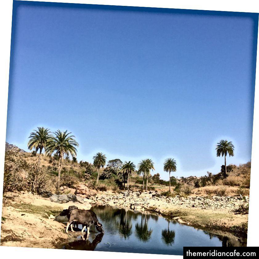 Búfalo de água que para para uma bebida fora de uma vila em Rajasthan rural.