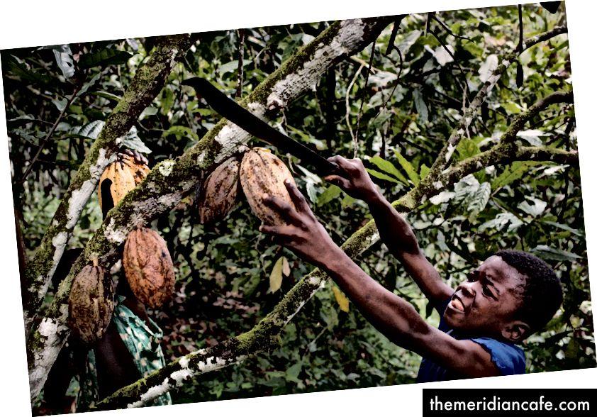 Travail des enfants dans une ferme de cacao en Afrique de l'Ouest (Photo: Daniel Rosenthal / Iaif)