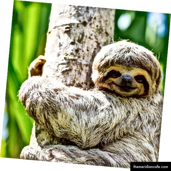 Les marques de chocolat populaires sont liées à la destruction des forêts tropicales humides et à l'extinction des espèces sauvages (Orangutan Photo; Sloth Photo)
