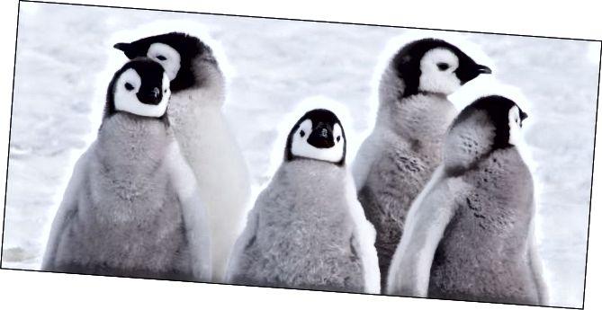 Perandorët pinguin pule në dëborë