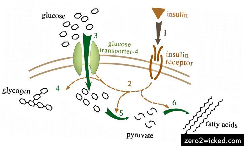 Glukoosimetabolia Wikipedian kautta.